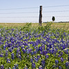 Texas Bluebonnets, Lupinus texensis,  and Indian Paintbrush, Castilleja indivisa, along a fence line near Whitehall, Texas.