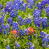 Texas Bluebonnets and Indian Paintbrush along Texas State Highway 105 between Navasota and Brenham.