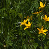 Texas Yellow Star wildflower, Lindheimera texana, on the side of the road of farm-to-market road in Southeastern Texas in the spring.