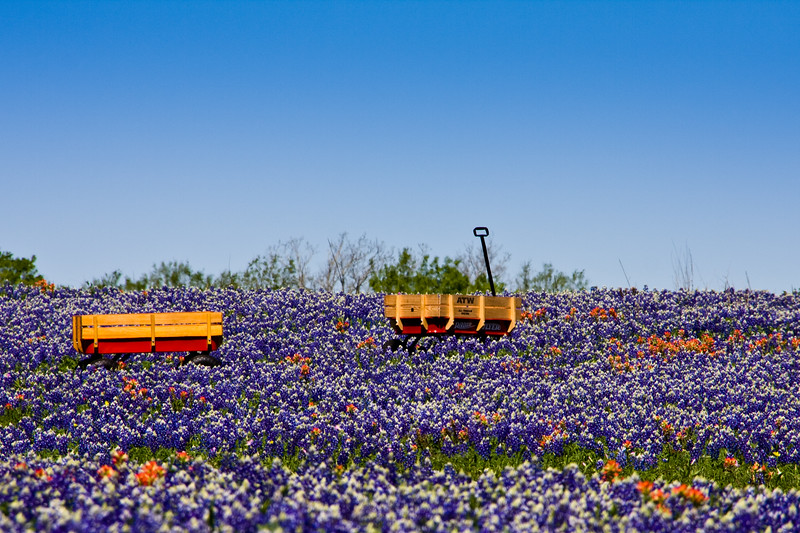 Children's wagons in a field of Texas Bluebonnets, Lupinus texensis, and Indian Paintbrush, Castilleja indivisa, on a farm near Whitehall, Texas.