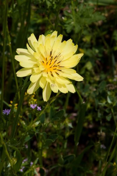 Texas Dandelion (or False Dandelion), Pyrrhopappus pauciflorus, blooming in spring along farm-to-market road in Texas.