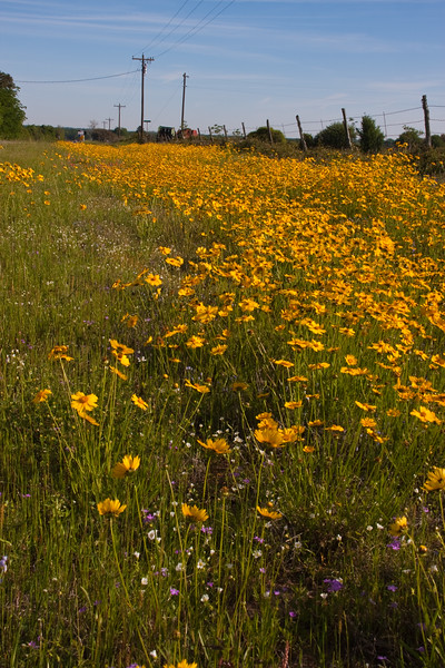 Coreopsis wildflowers along farm-to-market road in Southeast Texas.