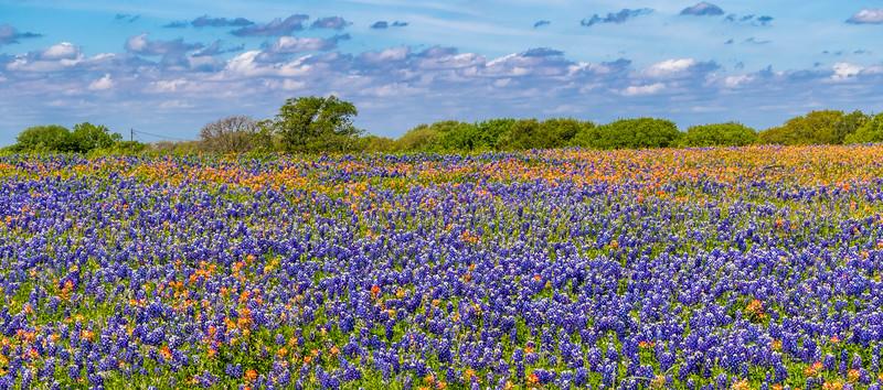 Texas Bluebonnets and Indian Paintbrush along Texas highway FM 362 near Whitehall, Texas.