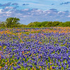Texas Bluebonnets and Indian Paintbrush along Texas highway FM 362 near Whitehall, Texas.