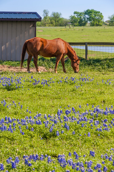 Horse and Texas Bluebonnets, Lupinus texensis, along farm-to-market road in Southeastern Texas.
