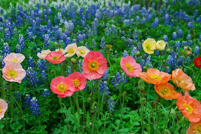 Poppies and Bluebonnet Wildflowers at Wildseed Farms in Fredericksburg, Texas.