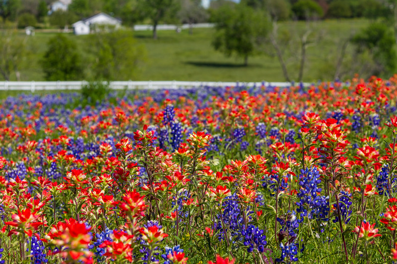 Texas Bluebonnets, Lupinus texensis, and Indian Paintbrush, Castilleja indivisa, flowering in spring at Old Baylor College park in Independence, Texas.