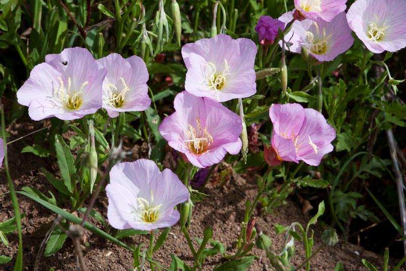 Showy Evening Primrose wildflowers, Oenothera speciosa, (also known as Pink Evening Primrose), along Texas highway 382 near Whitehall, Texas.