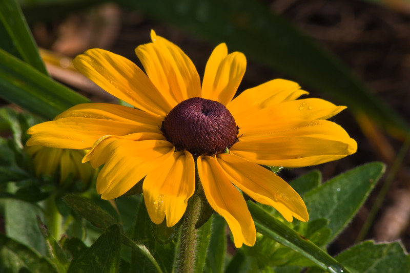 Black-eyed Susan, Rudbeckia hirta, at Mercer Arboretum and Botantical Gardens in Spring, Texas.