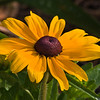 Black-eyed Susan, Rudbeckia hirta, at Mercer Arboretum and Botantical Gardens in Spring, Texas.