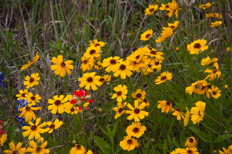 Coreopsis and Indian Paintbrush, Castilleja indivisa, wildflowers at Old Baylor Historic Site and park in Independence, Texas.