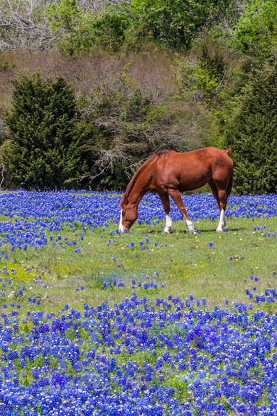 Horse in field of Texas Bluebonnets, Lupinus texensis, along the side of Texas highway 105 near Brenham, Texas.