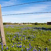 Texas Bluebonnet wildflowers, Lupinus texensis, blooming in the spring along farm-to-market road in Southeastern Texas.