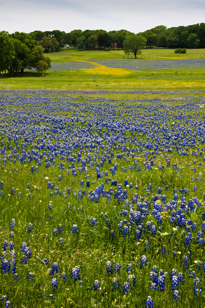 Texas Bluebonnet wildflowers, Lupinus texensis, blooming in spring along farm-to-market road in Texas.