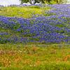 Field of Texas Bluebonnets and Indian Paintbrush along Texas highway 105 between Navasota and Brenham.