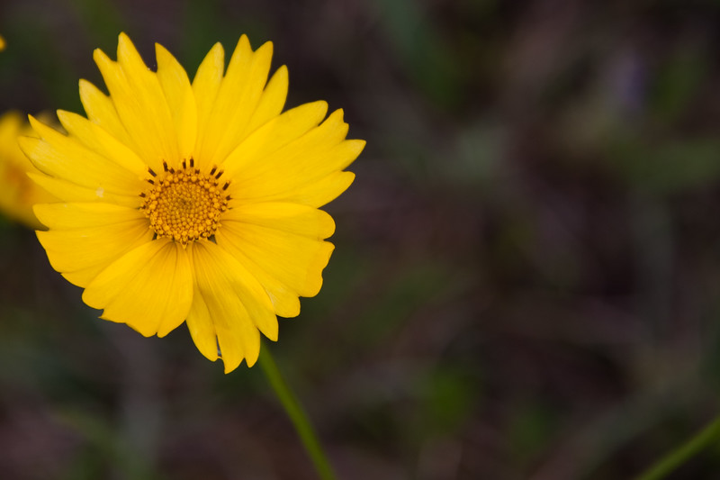 Coreopsis wildflower by the side of the road on Texas FM 362.