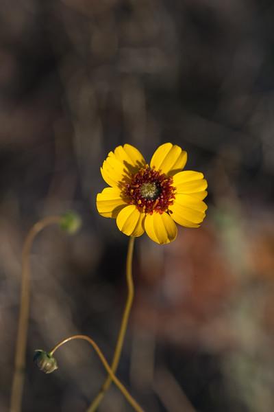 Chocolate Daisy wildflower, Berlandiera lyrata, in Big Bend National Park in Texas.