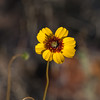 Chocolate Daisy wildflower, Berlandiera lyrata, in Big Bend National Park in Texas.