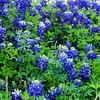 Texas Bluebonnet found at Brenham, Texas.