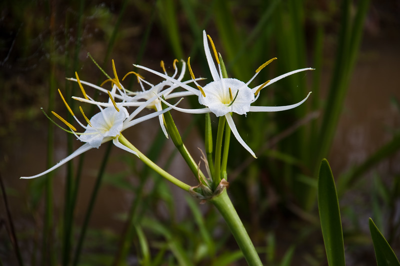 Spider Lily, Hymenocallis liriosme, on the side of the road by a pond, on Texas 362, near Whitehall, Texas.