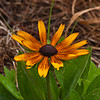 Gloriosa Daisy, Rudbeckia gloriosa, at Mercer Arboretum and Botantical Gardens in Spring, Texas.
