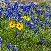 Lanceleaf Coreopsis and Texas Bluebonnets