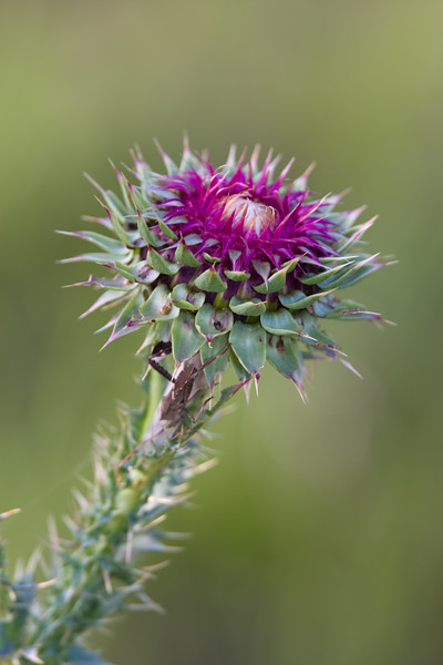 Texas Thistle flower, Cirsium texanum, at Petersen Ranch.