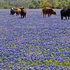 Cows in field of Texas Bluebonnets, Lupinus texensis, on a ranch near Whitehall, Texas.