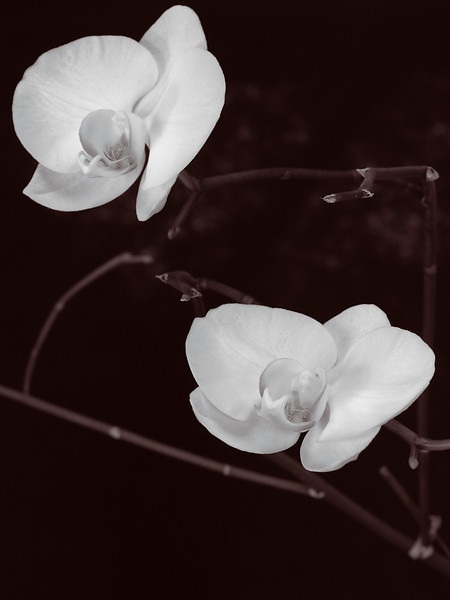 Phalenopsis aphrodite orchids