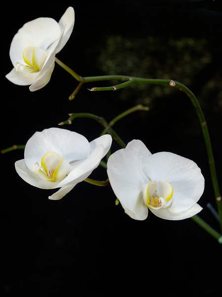 Phalenopsis aphrodite orchids
