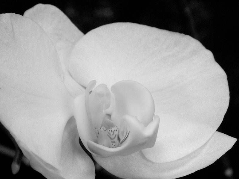 Detail of a Phalenopsis aphrodite orchid blossom.