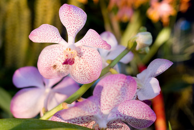Orchid Show Fort Mason 108