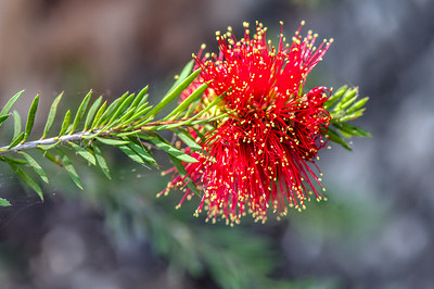 Blackdown Bottlebrush - Sydney