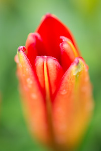 Tulip Up Close