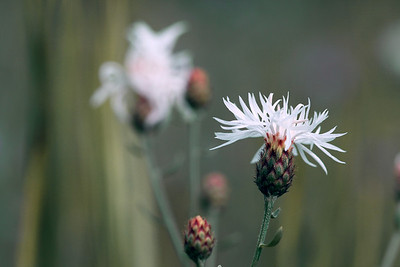 White Knapweed