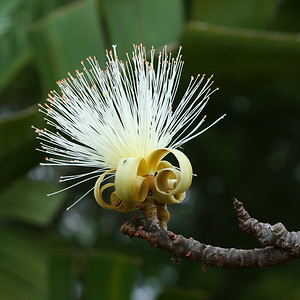 Shaving Brush Tree Flower