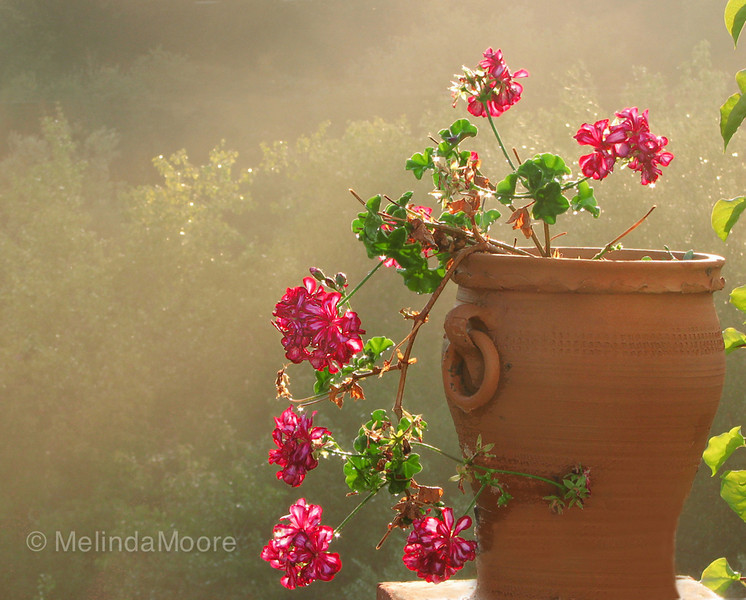 Glorious Geraniums