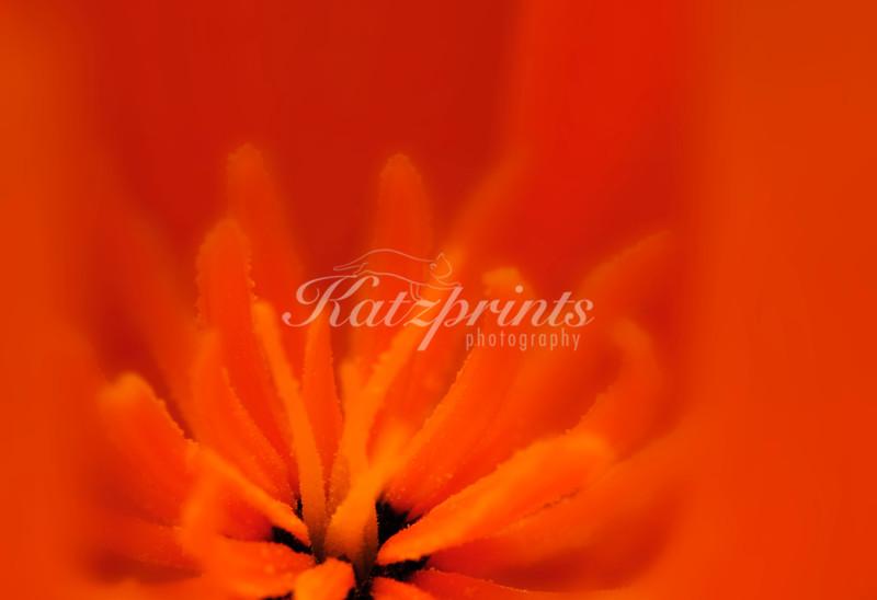 Close-up of a California Poppy.