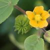 Velvet Leaf Wildflower