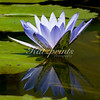 A lily is reflected in a backyard pond.
