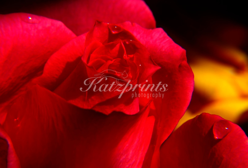 Water droplets on a rose