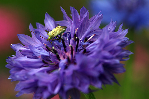 Cornflower with possibly a Stink Bug