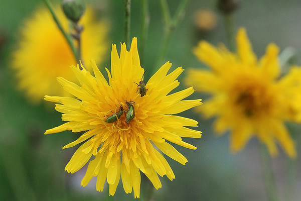 Canada Hawkweed with green bugs