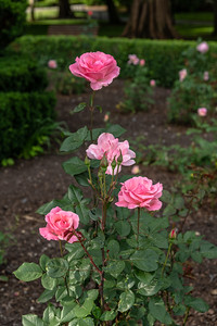 Rose 10