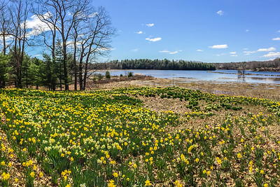 Daffodils Along the Saco River