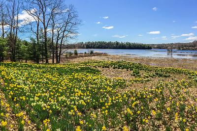 Daffodils Along the Saco River