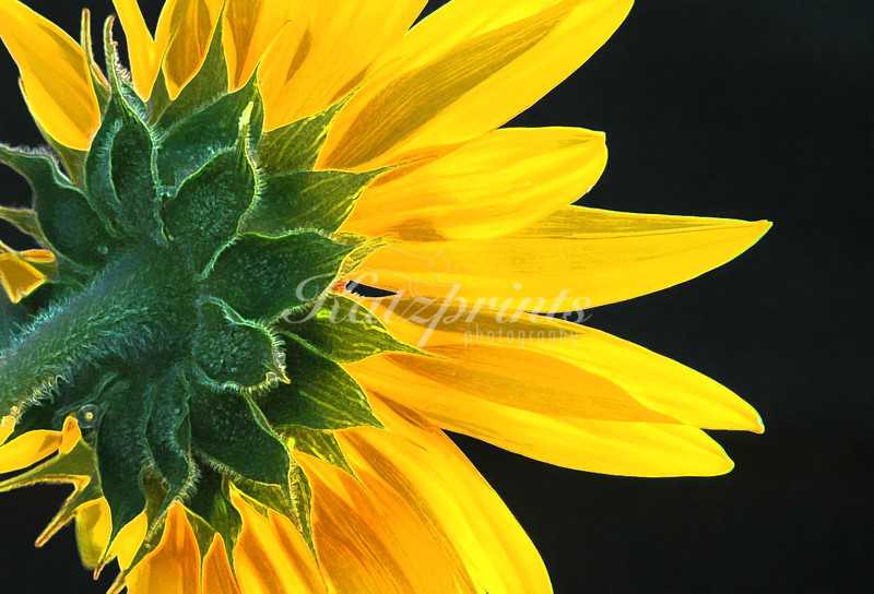 Backside of a sunflower in sunlight