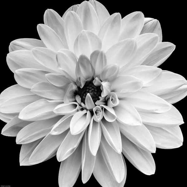 Dahlia in Black & White