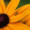 Rudbeckia with tiny hopper