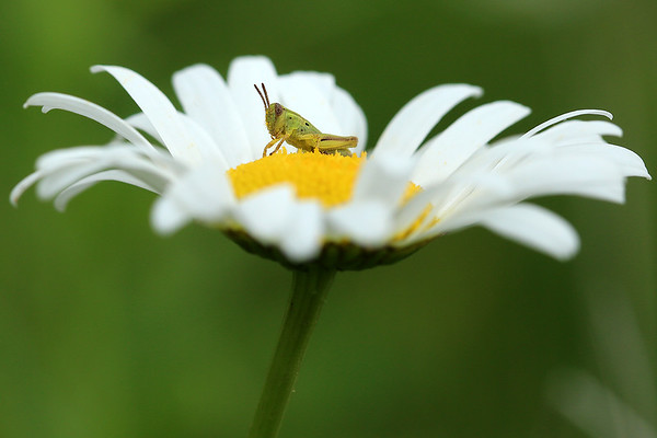 Daisy with a little Hopper